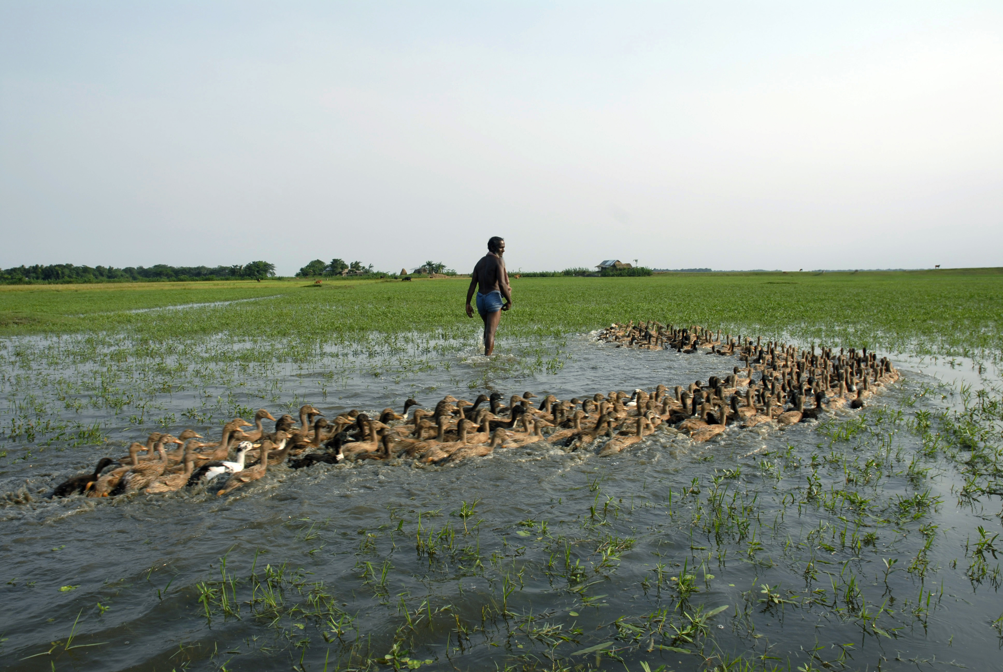Duck rearing in submerged field