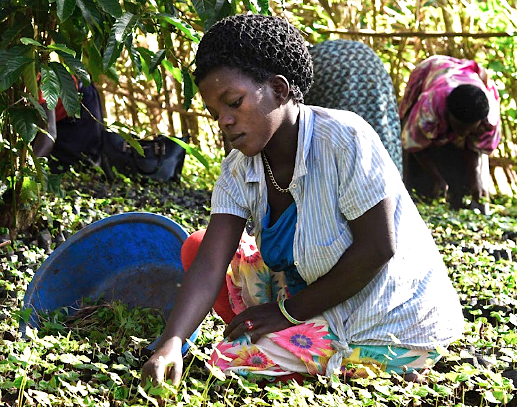 Workers at Betty Ndugga's coffee nursery