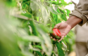 A female farmer harvests red and yellow pepper plants that are ripe for picking at a greenhouse in Les Serres du Sud. © GCCA+/EU 2020. Photo taken by Diksh Potter. (May 21st, 2020)